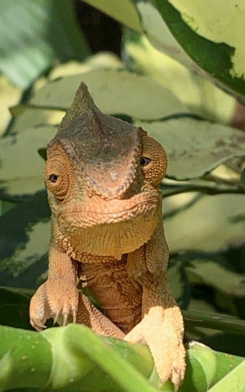 Nos mascottes ! Les jardins Veremer abritent 3 caméléons, espèces protégées.